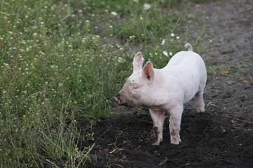 Organic piglet