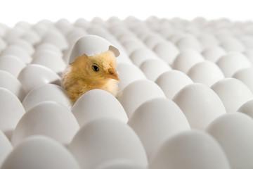 chicken nestling