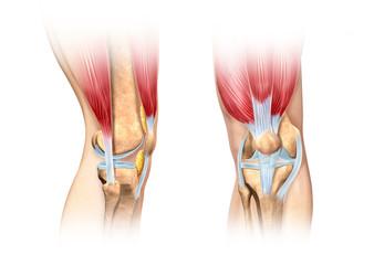 Human knee cutaway illustration. Anatomy image.