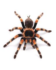 Tarantula spider, female (Brachypelma smithi)