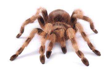 Tarantula spider, female (Nhandu coloratovilosum)