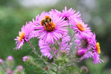 ape su fiori rosa_ Aster Frikartii