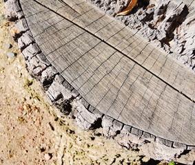 Stump of a freshly cut tree