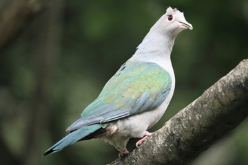 Green Imperial Pigeon, in the aviary of Hong Kong Park