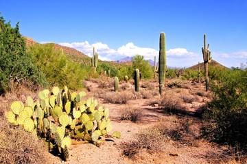 Fototapete - Arizona desert view with saguaro cacti and prickly pear