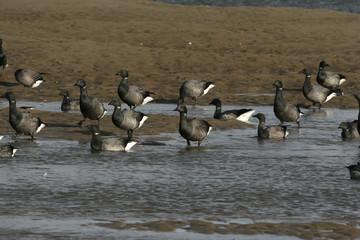 Brent goose, dark-bellied, Branta bernicla