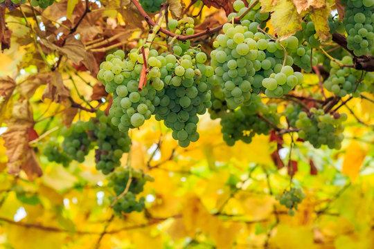 white grapes on vineyard blurred background