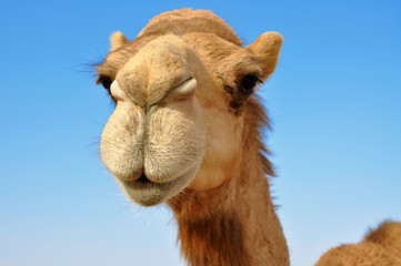Photo sur Plexiglas Chameau Close-up of a camel