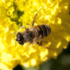 Bee working on yellow flower