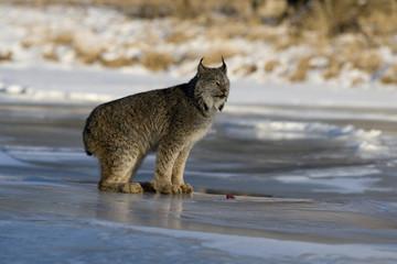 Fotoväggar - Canadian lynx, Lynx canadensis