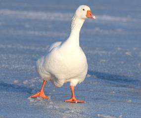 Domestic goose walking on ice
