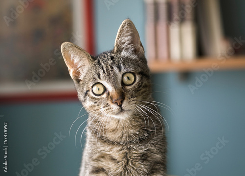 male tabby cats for sale