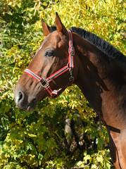 Holsteiner horse, bay gelding, portrait with bridle