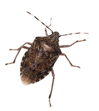 Brown Marmorated Stink Bug isolated on white