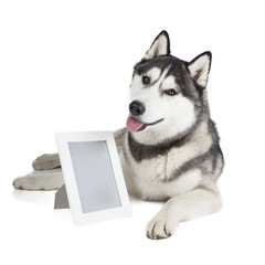 Portrait of a Siberian Husky with photo frame