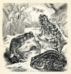 Toads (Bufo bufo, B. variabilis, B. calamita)