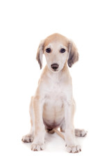 Tazy - Kazakh greyhound, 2 mounth old puppy, isolated on white