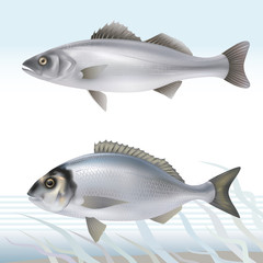 Seabass and dorado (gilthead bream). Vector illustration.