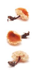 gymnopus brassicolens
