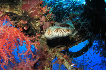 Burrfish and coral