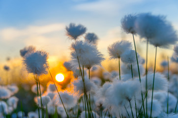 Cotton grass on a background of the sunset sky