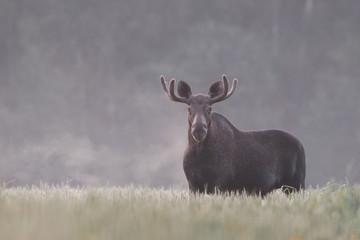Bull Moose in fog