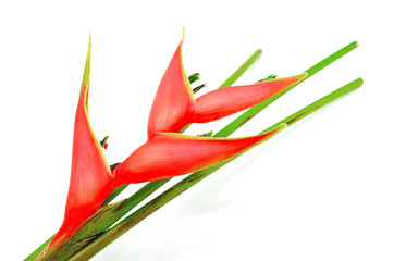 Wall Mural - Heliconia isolated