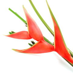Fototapete - Heliconia isolated