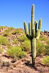 Fototapete - Giant Saguaro cactus in the Arizona dessert