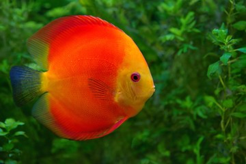 Discus (Symphysodon), red cichlid in the aquarium