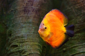 Discus (Symphysodon), red cichlid, the freshwater fish