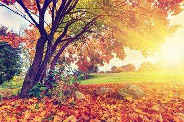 Wall Mural - Autumn, fall in park. Sun shining through colorful leaves
