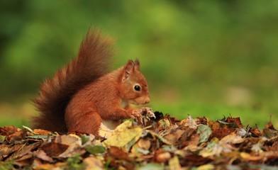 Deurstickers Eekhoorn Red Squirrel (Sciurus vulgaris)