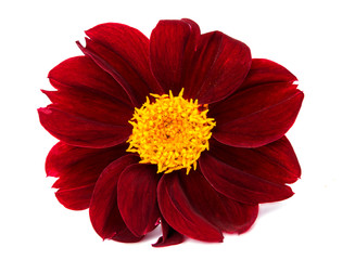 dahlia flower isolated