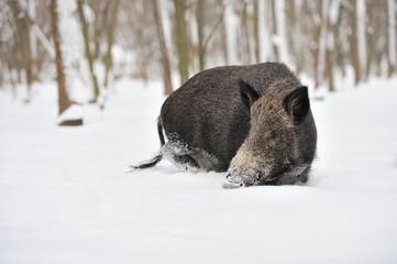 Wall Mural - Wild boar in winter forest