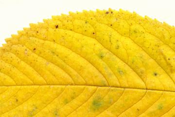 Prunus leaf on white