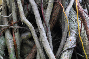Roots of a Banyan Tree