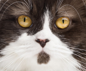 Close-up of a British Longhair looking at the camera