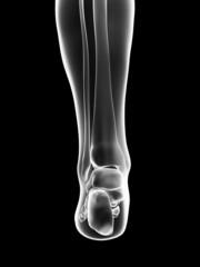 transparent female skeleton - foot bones