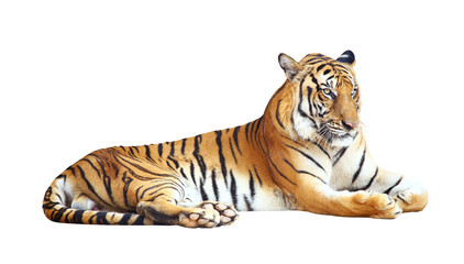 Fotobehang Tijger Tiger with clipping path on white background