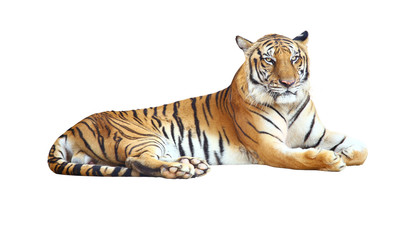 Spoed Fotobehang Tijger Tiger looking camera with clipping path on white background