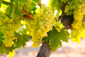 chardonnay Wine grapes in vineyard raw ready for harvest