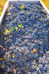 Mediterranean vineyard harvest   cabernet sauvignon grape field