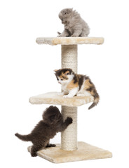 Highland fold or straight kittens playing on a cat tree, isolate