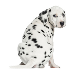 Wall Mural - Rear view of a Dalmatian puppy sitting, looking at the camera