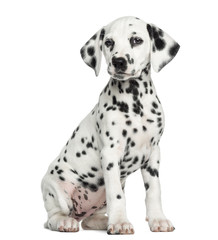 Fototapete - Dalmatian puppy sitting, isolated on white