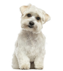 Front view of a Maltese sitting, looking at the camera, isolated