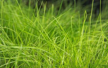 Field of reen grass in morning