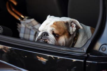 english bulldog in a trunk