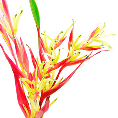 Wall Mural - Heliconia 'LadyDi'